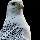 Gyrfalcon by M.S. Photography/Art
