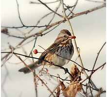 Song Sparrow and Red Berry Photographic Print