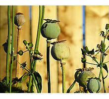 Poppy Heads Photographic Print