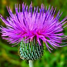 American Thistle by Sandra Moore