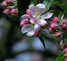 Apple Blossom by Sharon Perrett