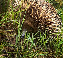 Face to Face with an Echidna by Josie Jackson