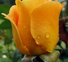 Apricot Rose by Andrew S