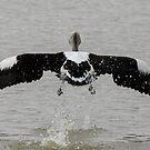 Pelican.IMGP3767 by Murray Wills