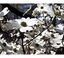 Dogwood Petals Photographic Print