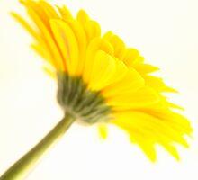 Yellow Gerbra flower  by NKSharp