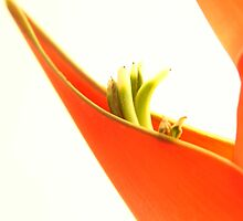 Orange Heliconia flower on white background by NKSharp