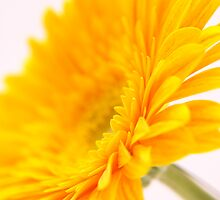 Yellow Gerbra flower on white background by NKSharp