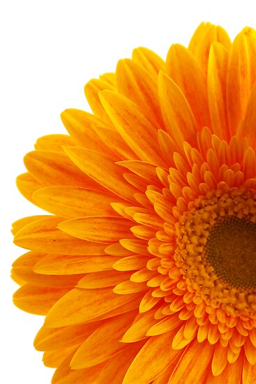 Orange Gerbra flower by NKSharp