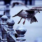 Blackpool seagull by Samantha Coe
