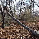 Forest, Winter View, New York Botanical Garden, Bronx, New York by lenspiro