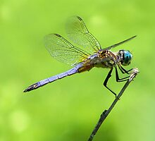 Dragonfly Landing by NaturalPhotos