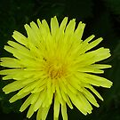 dandelion by brucemlong