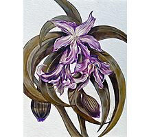 Wild Blue: Amaryllis, by Alma Lee Photographic Print