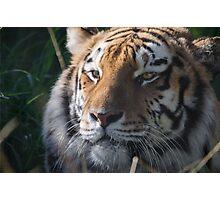 Tiger Tiger Photographic Print