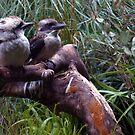 Kookaburra by yas74