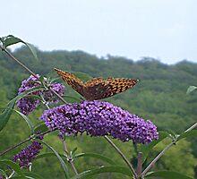A Great Spangled Fritillary on a Butterfly Bush - photo 1 by Jane Neill-Hancock