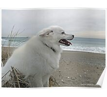Sylvie the Wonder Dog Pauses at the Beach Poster