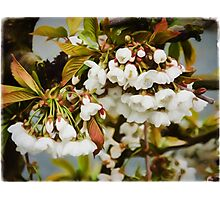 Flower Art - Apple Blossoms Photographic Print