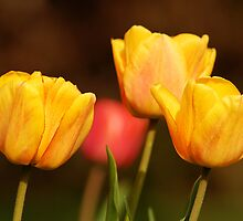 Yellow Tulips in a Line by Ryan Houston
