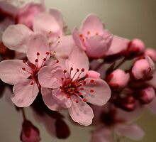 Springtime Pink Blossoms by Ryan Houston