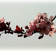 Plum Blossoms by Ryan Houston