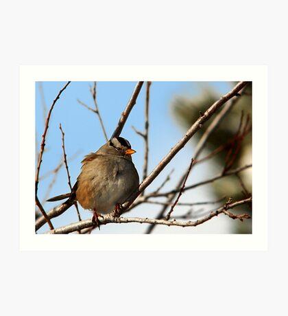 White-Crowned Sparrow - Blue Skies Art Print