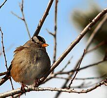 White-Crowned Sparrow - Blue Skies by Ryan Houston