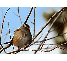 White-Crowned Sparrow - Blue Skies Photographic Print
