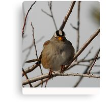 White-Crowned Sparrow - Perched Canvas Print