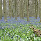 Bluebell Woods 1 by Mark Thompson