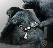 Columbian Black Spider Monkey (Ateles fusciceps robustus) #2 by amjaywed