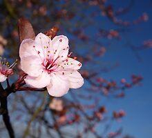 Single Cherry Blossom by pluspixels