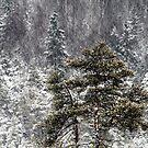 30.12.2014: Pine trees by Petri Volanen
