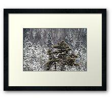 30.12.2014: Pine trees Framed Print
