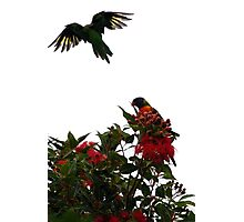 Rainbow lorikeets Photographic Print