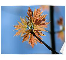 Acer Saccharinum (Silver Maple) N. America Poster