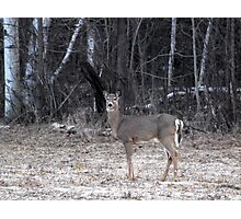 My First Spring Doe Photographic Print