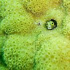 Secretary Blenny by javachat