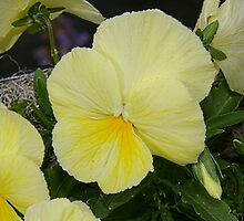 Yellow Pansy by Adrena87