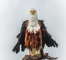 Not So Majestic Eagle by Owed To Nature