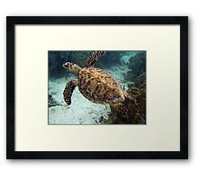 Hawksbill turtle Framed Print