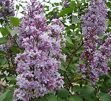 Lilac Bush by Linda Fields