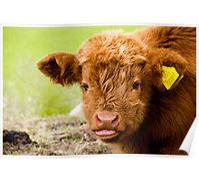 Highland Calf Poster