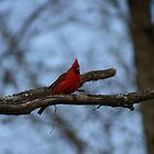 Northern red cardinal by turkeylegs