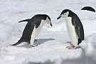 "Chinstrap Penguins ~ ""Konnichiwa (hello)"" by Robert Elliott"