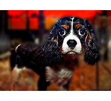 Cocker Puppy For Sale Photographic Print