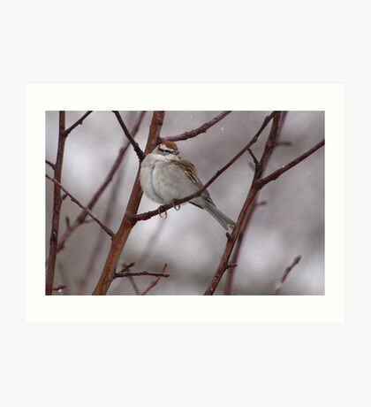 Sparrow in a Spring Snowstorm Art Print