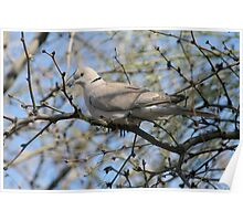 Ring Necked Turtle Dove Poster