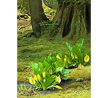 Skunk Cabbage in a Mossy Glen Photographic Print
